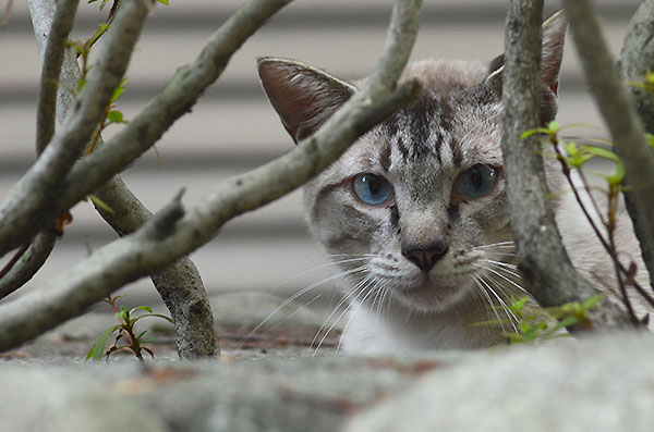 シンガプーラ風 白猫