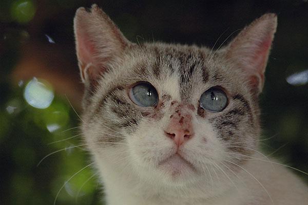 シャム猫風 白猫 タマちゃん