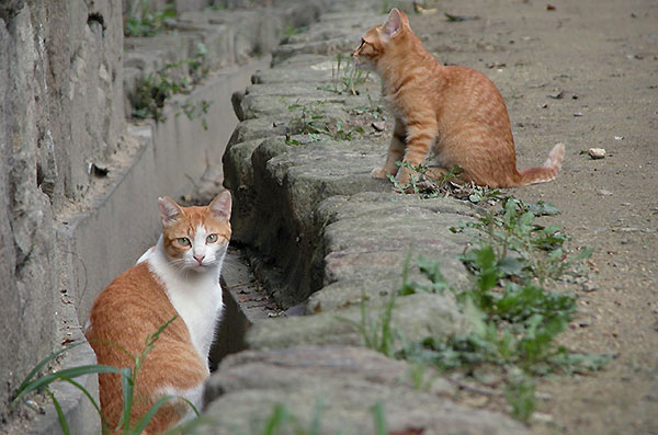 茶白猫 ペロちゃん 茶トラ猫 子猫 花ちゃん