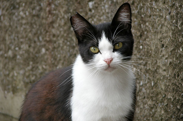 白黒猫 はちわれ猫 パンダちゃん