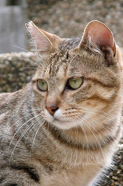 キジトラ猫 ゴンちゃん
