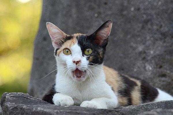 三毛猫 子猫