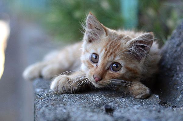 茶トラ猫 長毛 子猫
