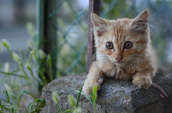 茶トラ猫 子猫