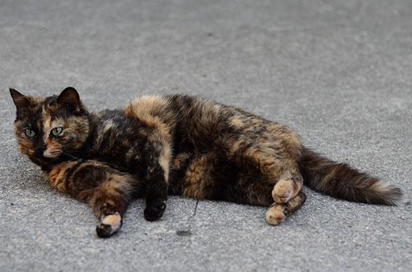 サビ猫 べっこう猫