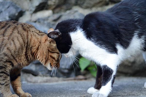 キジトラ猫 白黒猫 はちわれ猫