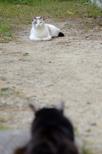 白猫 黒猫 シャム猫風