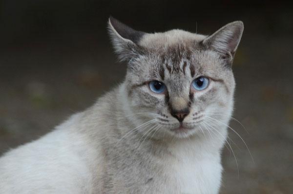 白猫 シャム猫風