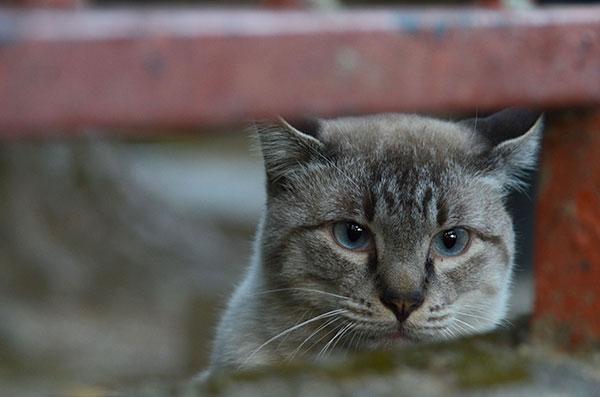 キジ白猫 シャム風