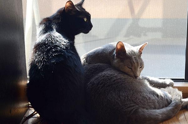 レオン ロシアンブルー まっちゃん 黒猫