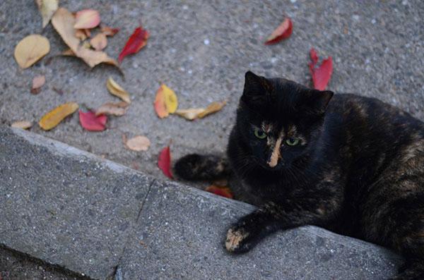 サビ猫 べっこう猫 落ち葉