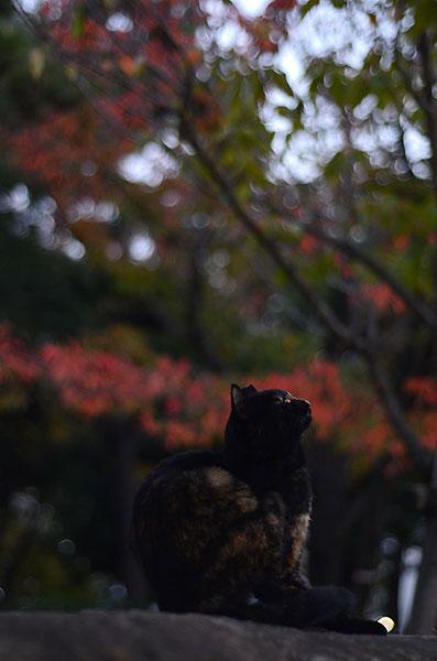 サビ猫 べっこう猫 紅葉