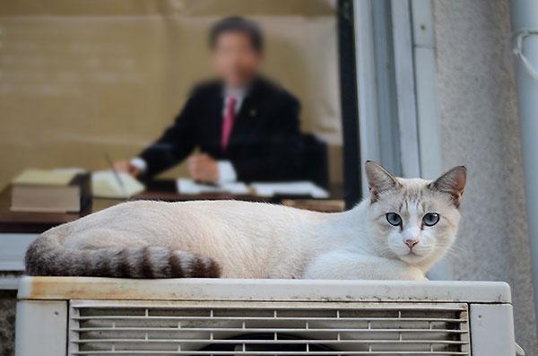 キジ白 猫白猫 シャム風