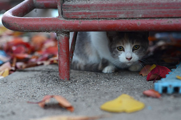 縞三毛猫 子猫