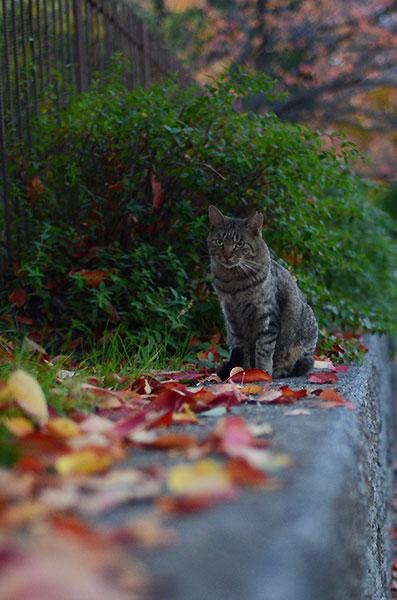 キジトラ猫 落ち葉