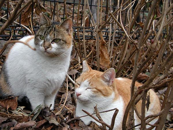 ペロちゃん サイちゃん 茶白猫 縞三毛猫