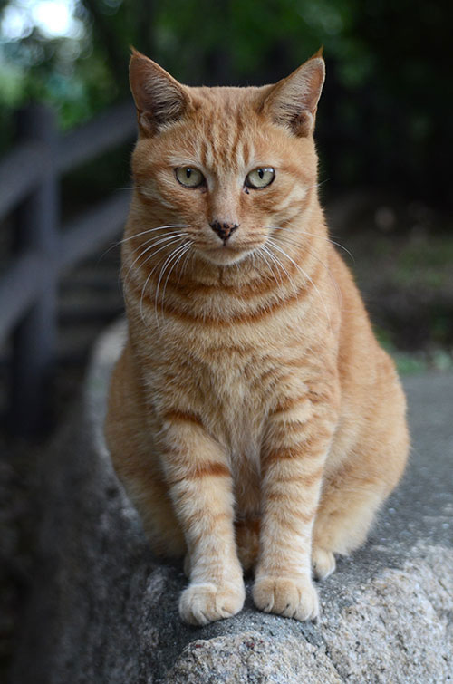 チビちゃん 茶トラ猫