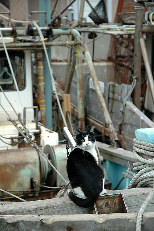 白黒猫 はちわれ猫