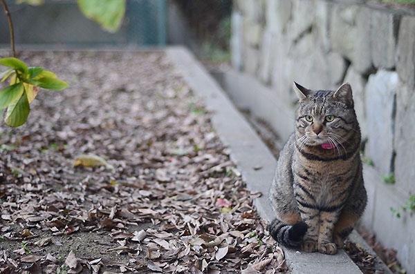 キジトラ猫 トラちゃん