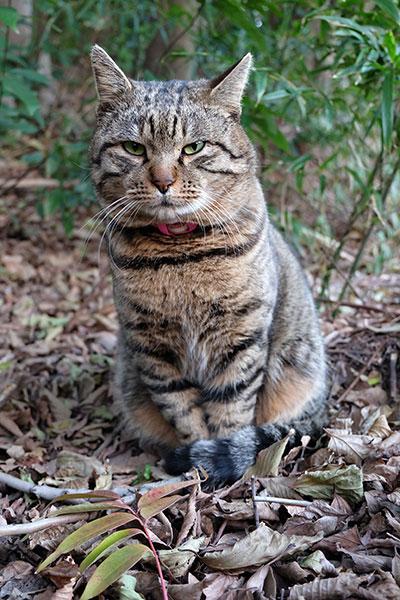キジトラ猫 トラ君