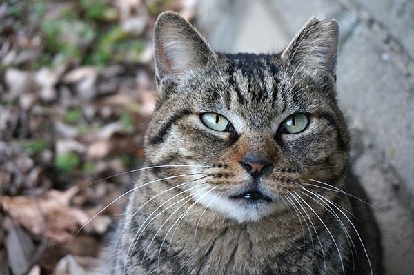 キジトラ猫 モモちゃん
