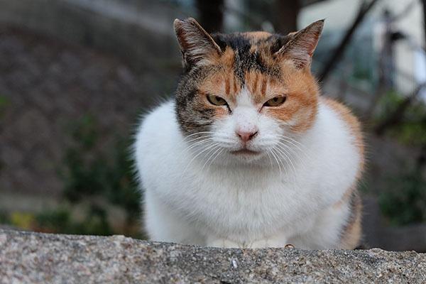 縞三毛猫 ミケちゃん