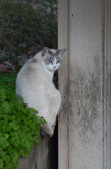 シャム猫風 白猫