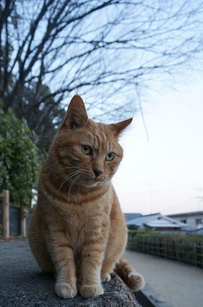 茶トラ猫 チビちゃん