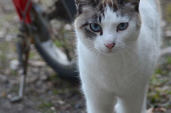 白キジ猫 白猫 シャム猫風