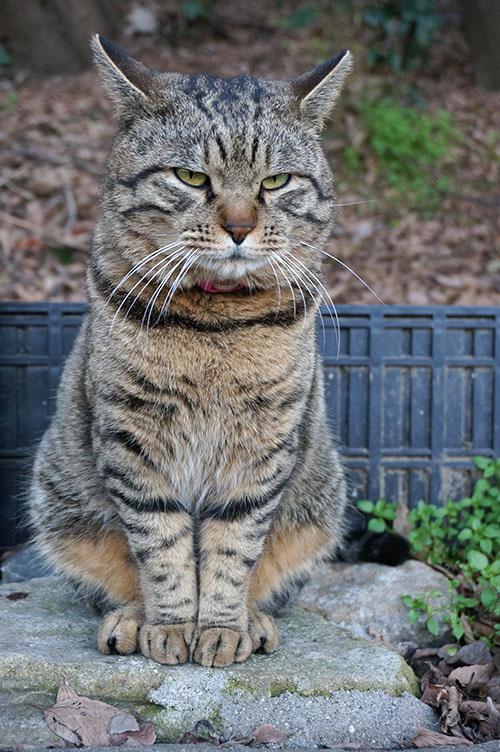 トラちゃん キジトラ猫
