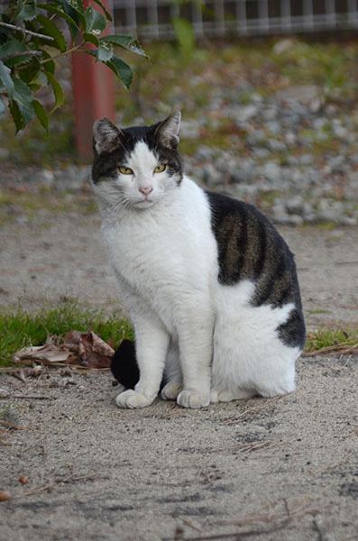 マーちゃん キジ白猫