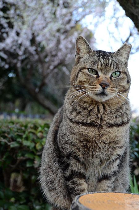 モモちゃん キジトラ猫 梅