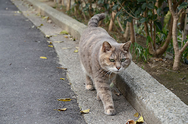 パステルサビ猫 カナちゃん