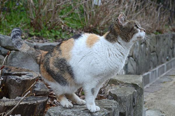 サイちゃん 縞三毛猫