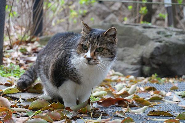 ミーちゃん キジ白猫