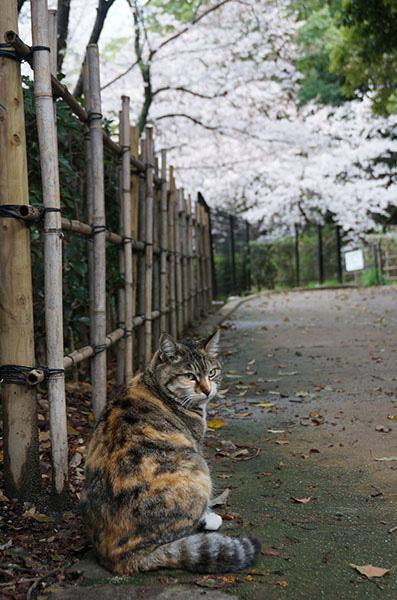 トモちゃん 縞三毛猫 桜