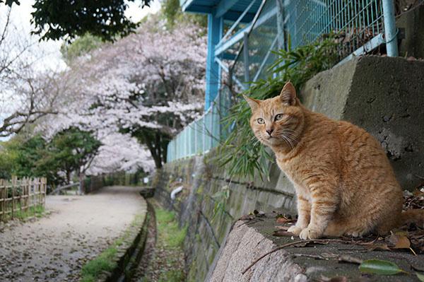 チビちゃん 茶トラ猫 桜