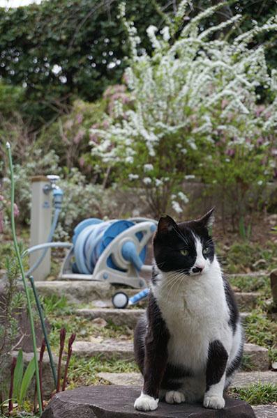 白黒猫 はちわれ猫 雪柳 ホース