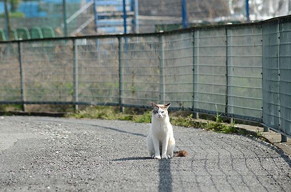 キジ白猫 シャムネコ風