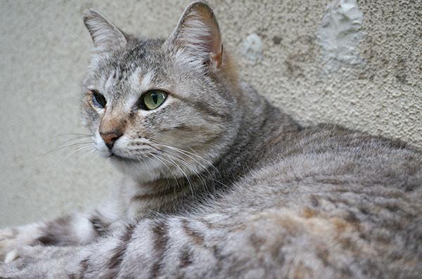 ミコちゃん パステルキジトラ猫