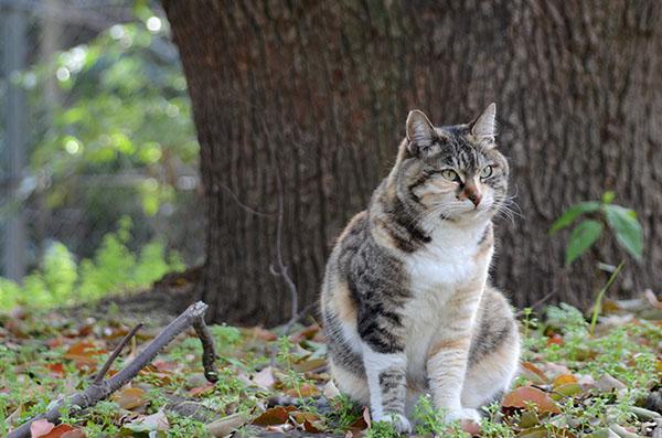 トモちゃん 縞三毛猫