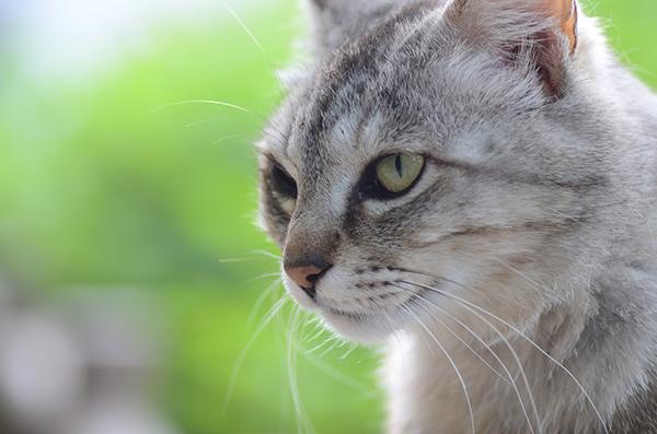 ミコちゃん パステルキジトラ猫 紫陽花