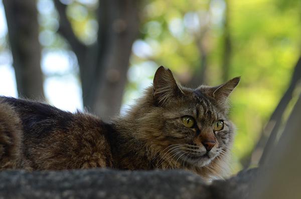 キジトラ猫 長毛