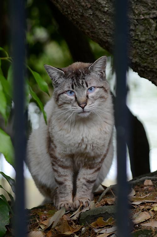 キジ白猫 青い目
