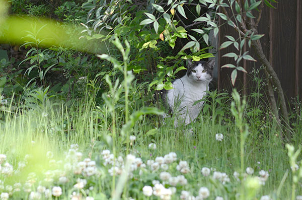 マーちゃん キジ白猫 シロツメクサ