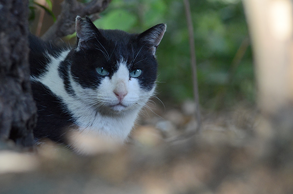 パンダ君 白黒猫 はちわれ猫