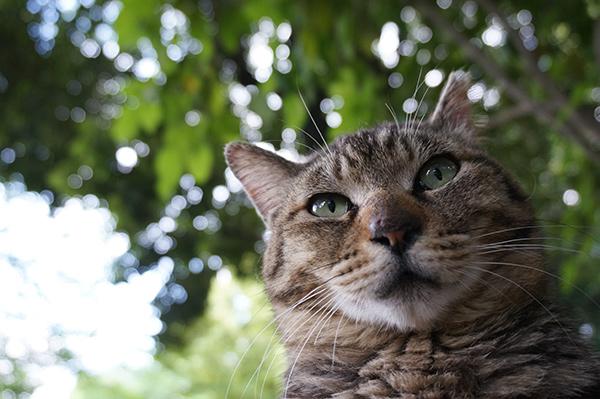 モモちゃん キジトラ猫
