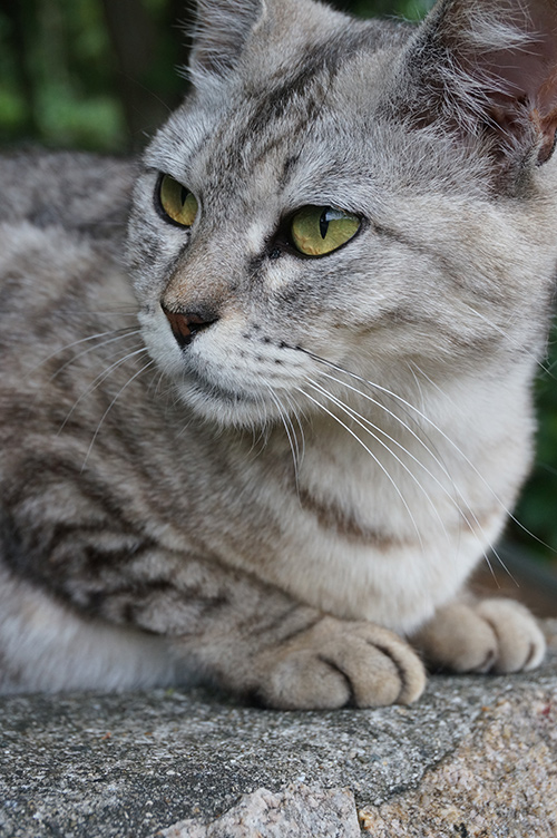マコちゃん サバトラ猫 キジトラ猫