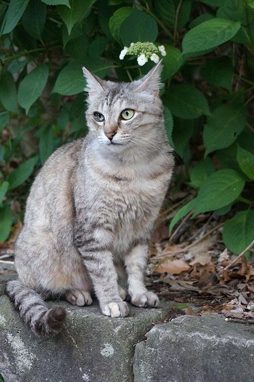 ミコちゃん サバトラ猫 キジトラ猫