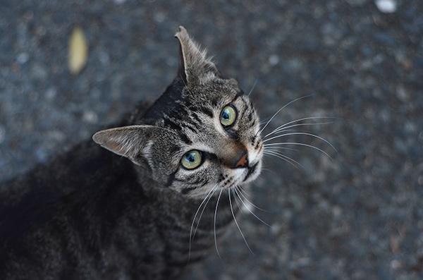 キジトラ猫 視線